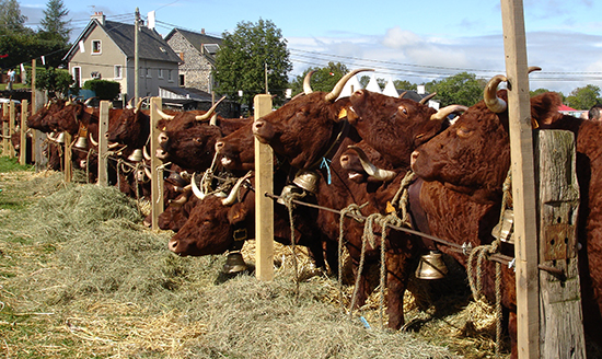 Salers cattle in France